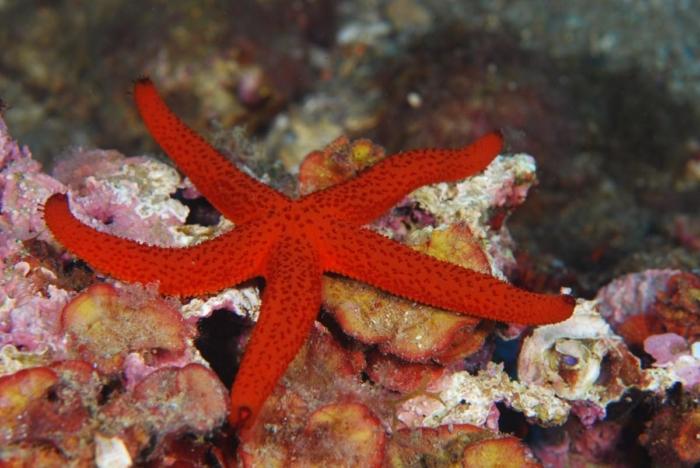 Estrella vermella (Echinaster sepositus)